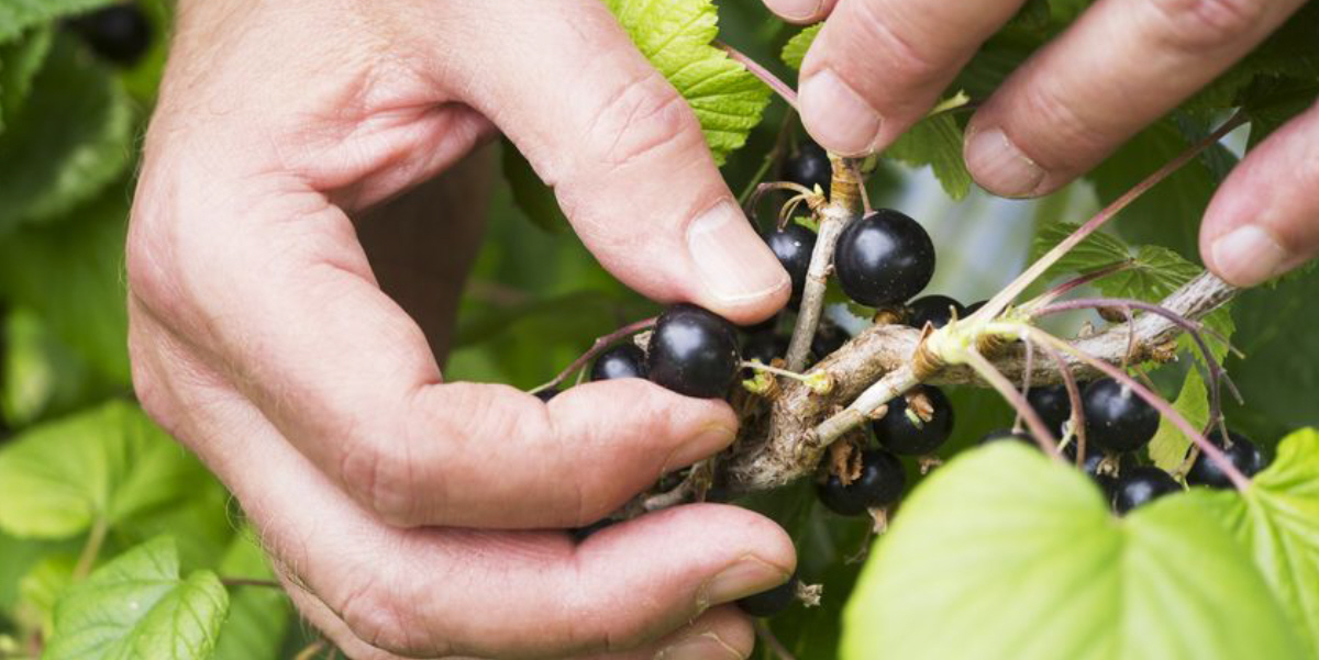 Evidence Builds that NZ Blackcurrants Assist Blood Flow and Reduce Blood Pressure