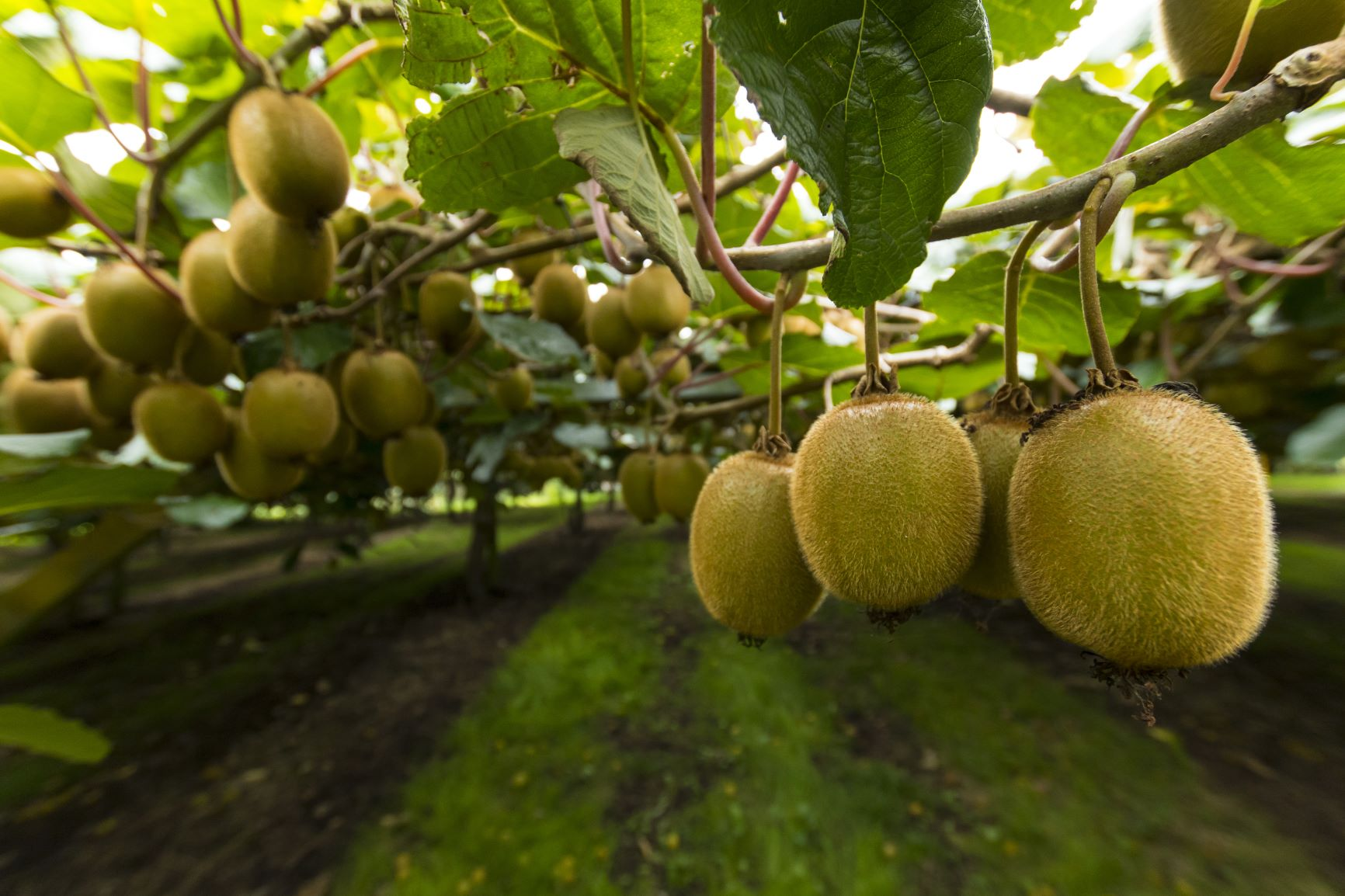 Kiwifruit could combat gluten intolerance